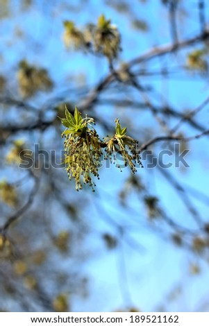 Green spring buds of the ash tree on blue sky background - stock photo