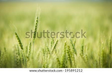 Green, Spring, Wheat Field with Soft Selective Focus - stock photo