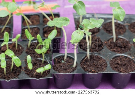 Green sprout growing from seed in a agricultural nursery ready to plant. Seed germination. Growing plant on the vegetable tray. - stock photo