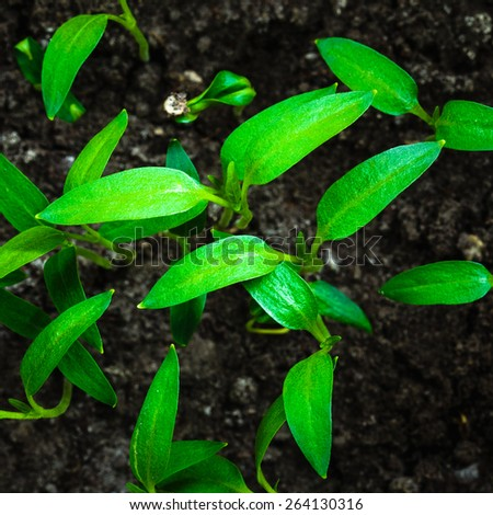 Green Sprout Growing From Seed On Dark Black Soil Background. Spring Concept Of New Life - stock photo