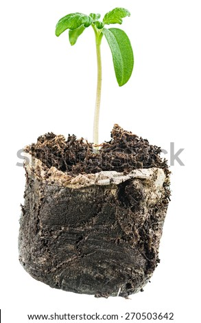 Green sprout growing from soil. Isolated on white - stock photo