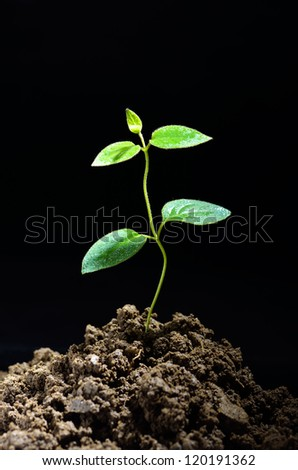 Green sprout growing from soil with black background - stock photo