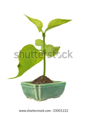 green sprout in the ceramic flower pot on a white background. (isolated)