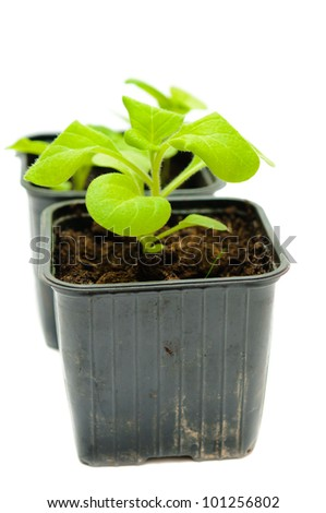 green sprouts in a pot on a white background