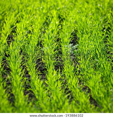 Green sprouts of wheat in the field  - stock photo