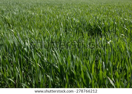Green sprouts of wheat in the green field