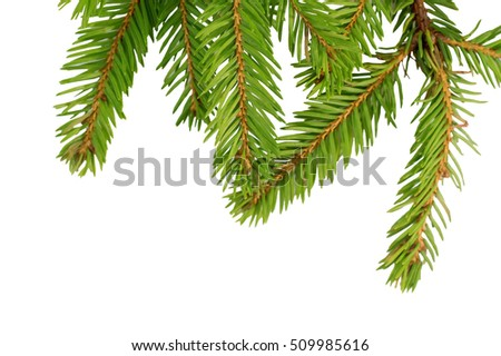 green spruce branches for the new year isolated on white