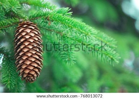 Green spruce tree with cone close up