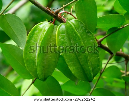 Green star fruit on tree.