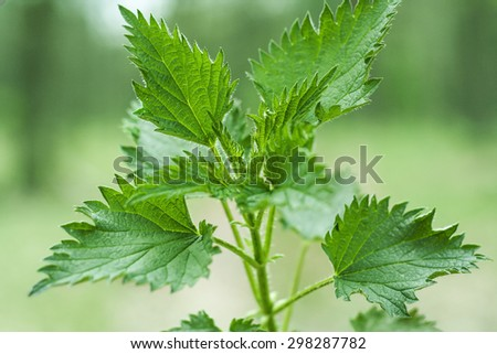 Green stinging nettle (urtica dioica) in forest