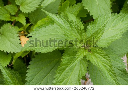 Green stinging nettle (urtica dioica) in garden - stock photo