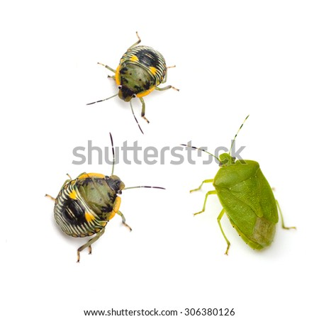 Green Stink Bug adult and nymph (Chinavia hilaris) isolated on white background - stock photo