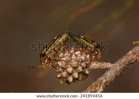 Green stinkbugs mating - stock photo
