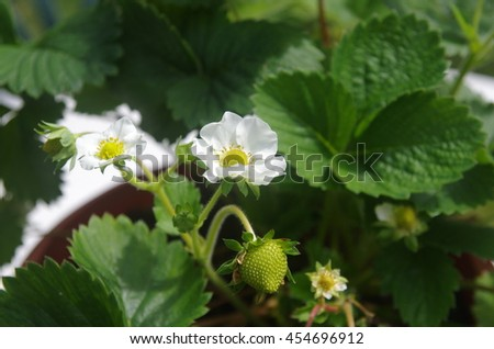 green strawberry and flower on leaf background - stock photo