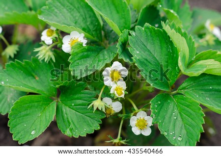 Green Strawberry leaves with flowers background in the garden - stock photo