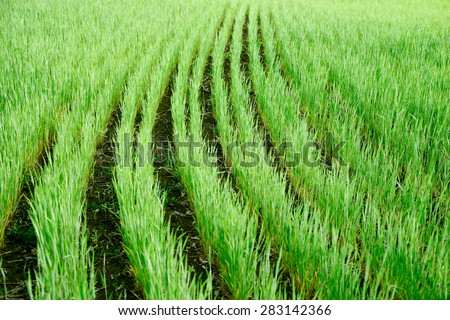 green striped rows of wheat field in spring sown field of organic products, without chemicals and pesticides - stock photo