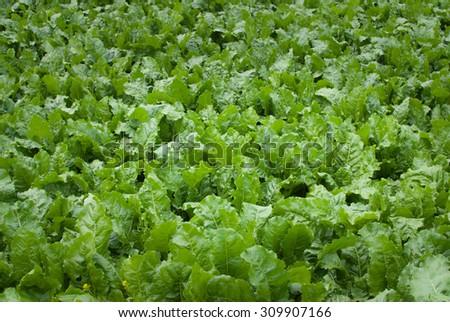 Green sugar beet field background - stock photo