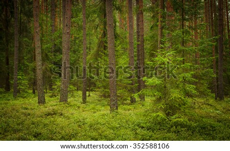 green summer forest, pines and billberry - stock photo