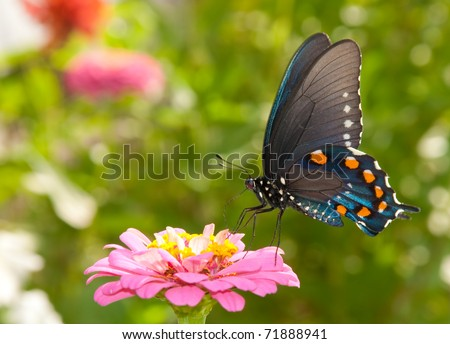 Green Swallowtail butterfly feeding on a pink Zinnia in sunny summer garden - stock photo