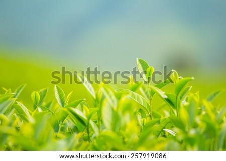 Green tea bud and fresh leaves - stock photo