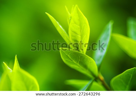 Green tea bud and fresh leaves. Tea plantations. Small depth of  - stock photo