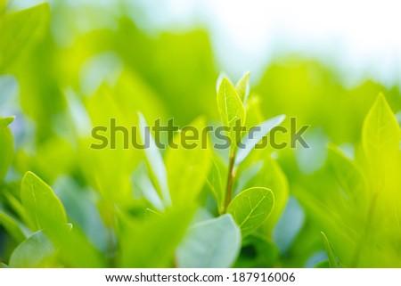 Green tea bud and fresh leaves. Tea plantations. Small depth of field. - stock photo
