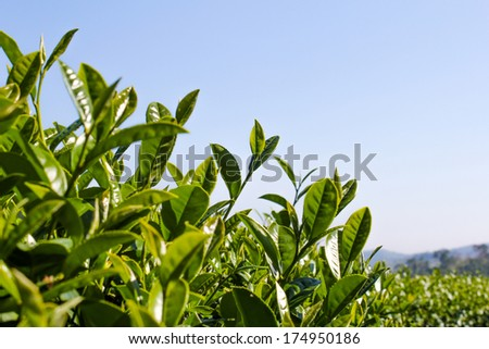 Green tea bud. Fresh tea leaves. Tea plantations in Thailand  - stock photo