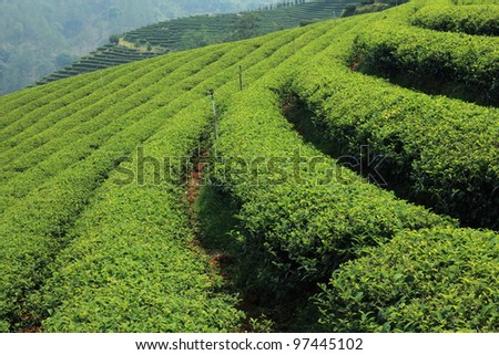 Green Tea Farm - stock photo