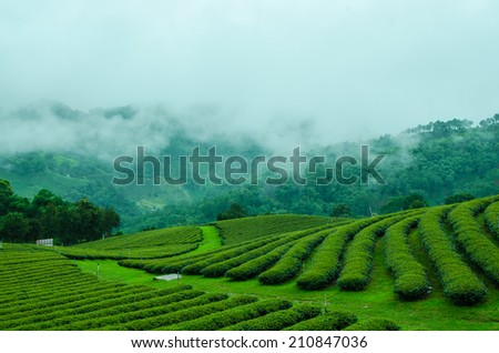 Green tea farm on moutain with white fog