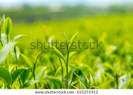 Green tea leaf extract Ready to harvest