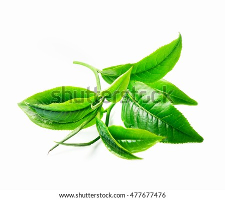 Green tea leaf isolate on white background
