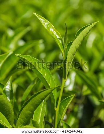 green tea leaf, Tea plantations - Landscape with green fields of tea in Sri Lanka - stock photo