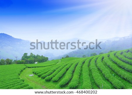 green tea plantation,Landscape for background