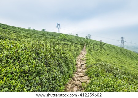 green tea plantation on the hillside - stock photo