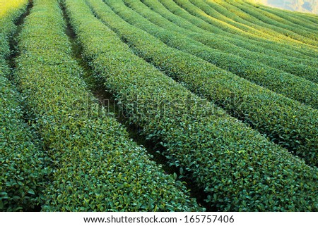 Green tea plantations. green tea garden on the hill. Thailand - stock photo