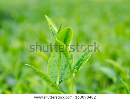 Green tea sprout with dew in the morning. - stock photo