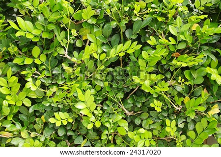 Green texture made by foliage leaf. - stock photo