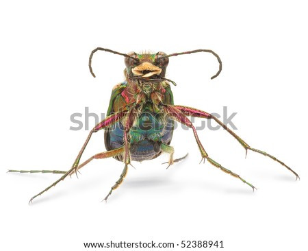 Green tiger beetle on white background - stock photo