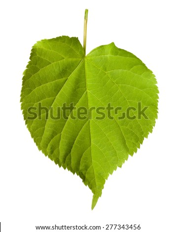 Green tilia leaf isolated on white background