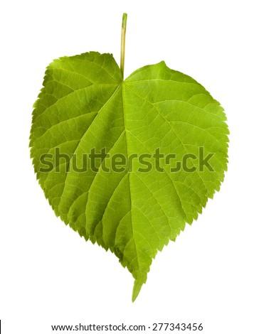 Green tilia leaf isolated on white background - stock photo