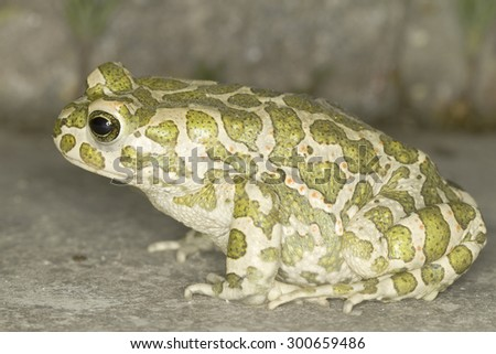 green toad in natural habitat / Bufo viridis - stock photo