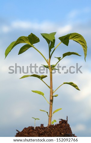 Green tomato plant growing in soil on blue sky background - stock photo