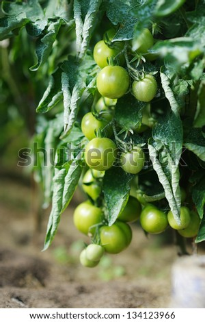 Green tomato plant sprayed with chemical mixture - stock photo