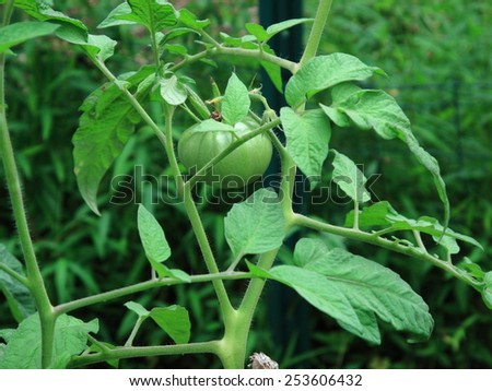 Green Tomato Plants - Unripe tomato plants in a garden. - stock photo