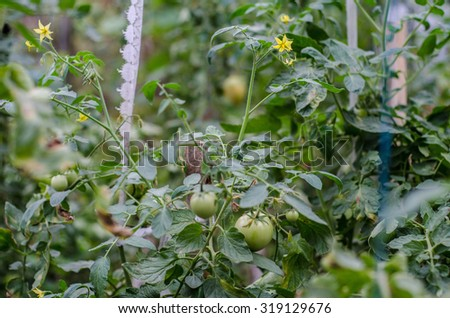 Green tomatoes. Agriculture concept. - stock photo