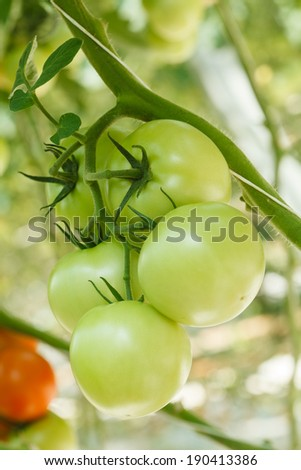 green tomatoes in the greenhouse - stock photo