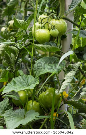 Green tomatoes shortly before the maturity on vegetable garden. Selective focus. - stock photo