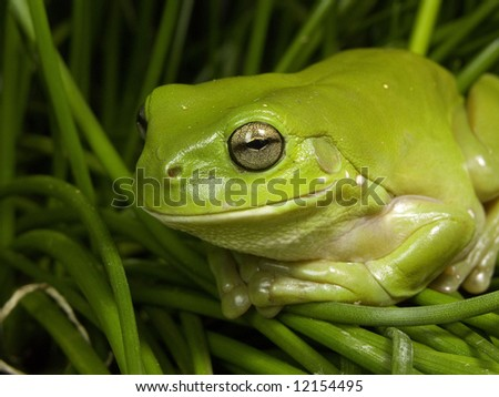 Green Tree frog 2 - stock photo