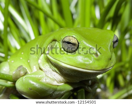 Green Tree frog 3 - stock photo