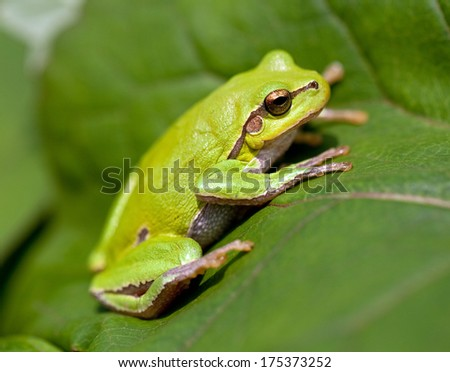 Green Tree Frog - stock photo